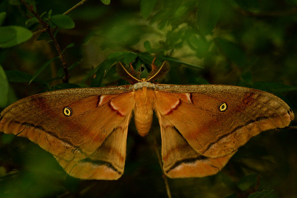 A male Polyphemus moth (Antheraea polyphemus) escaping the light of day (2009_09_06_028858)