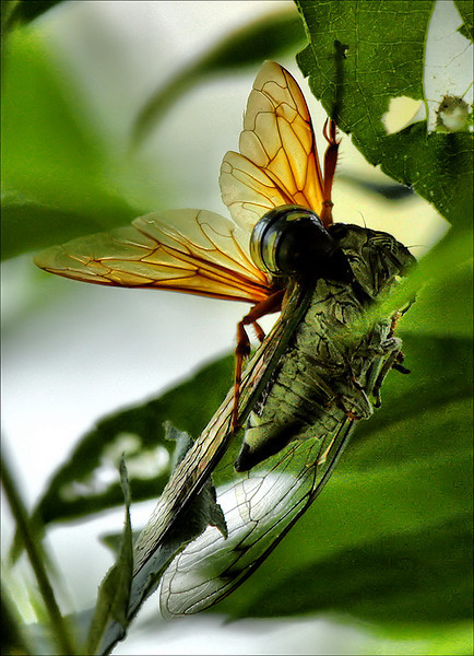 A female eastern cicada killer wasp (Sphecius speciosus) holding a paralyzed silver-bellied cicada (Tibicen pruinosus) (2009_09_06_028885)