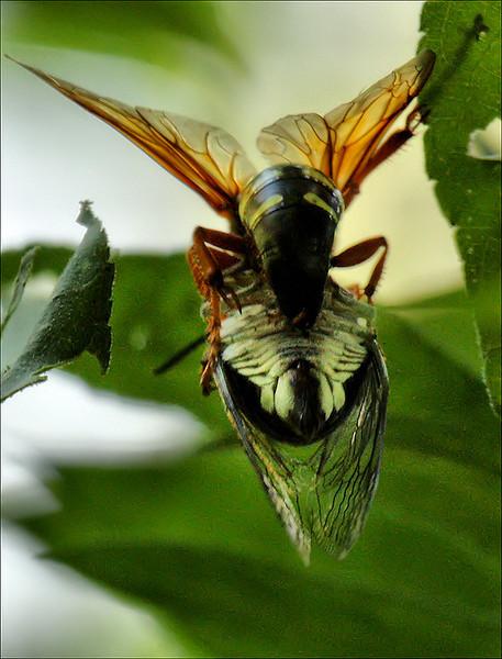 Female eastern cicada killer wasp (Sphecius speciosus) stinging a silver-bellied cicada (Tibicen pruinosus) (2009_09_06_028886)
