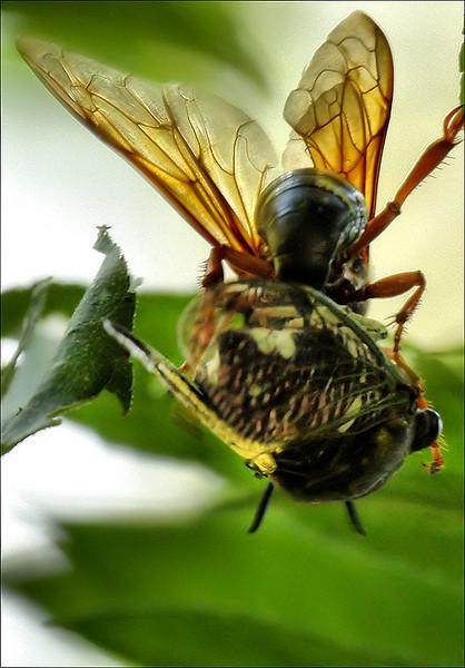 Female astern cicada killer wasp (Sphecius speciosus) sting a silver-bellied cicada (Tibicen pruinosus) (2009_09_06_028888)