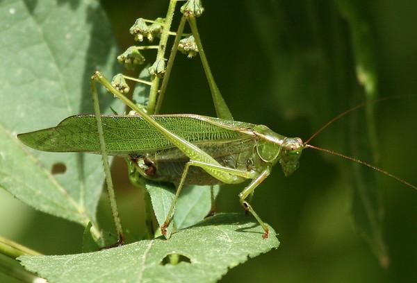 A fork-tailed bush katydid (Scudderia furcata) standing on a leaf (2009_10_03_030348)