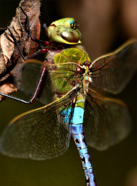 Close-up of a male common green darner (a.k.a. green darner or dragon fly; Anax junius) hanging from a dead leaf (2009_10_03_030434)