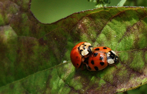 Multicolored Asian lady beetles (Harmonia axyridis) mating on a leaf (2009_10_03_030454)