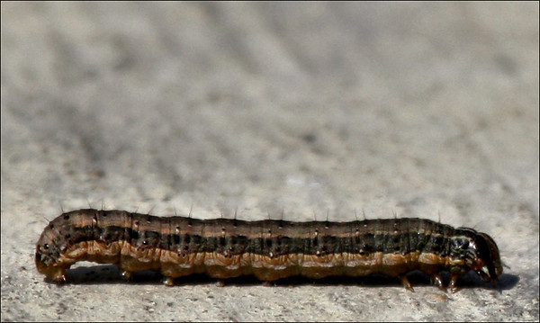 Fall armyworm (Spodoptera frugiperda) on the sidewalk (2009_10_03_030618)