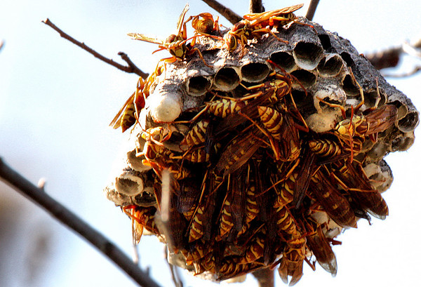 A nest of paper wasps (Polistes apachus) (2009_10_18_032568)