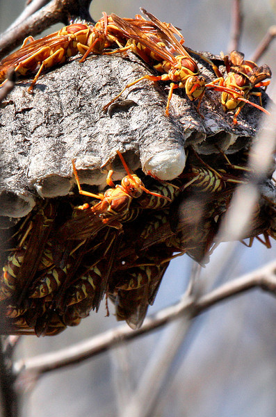 A nest of paper wasps (Polistes apachus) (2009_10_18_032575)