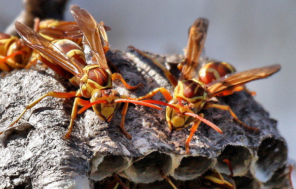 A nest of paper wasps (Polistes apachus) (2009_10_18_032578)
