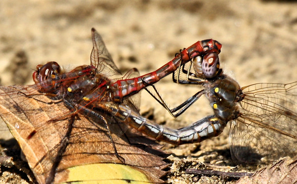 A pair of variegated meadowhawk (Sympetrum corruptum) mating on the ground (2009_10_18_032662)