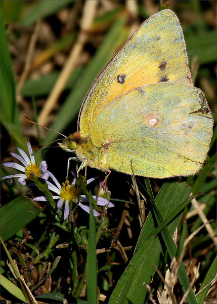 An orange sulphur (a.k.a. alfalfa sulphur; Colias eurytheme) on a small aster flower (2009_10_23_032693)