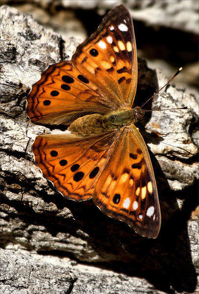 A hackberry emperor (Asterocampa celtis) resting on a tree (2009_10_23_033250)