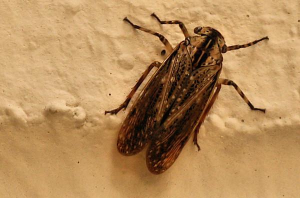 Fulgorid planthopper (Poblicia texana) climbing a brick wall (2009_10_25_034256)