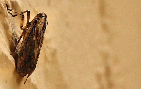 Fulgorid planthopper (Poblicia texana) climbing a brick wall (2009_10_25_034290)