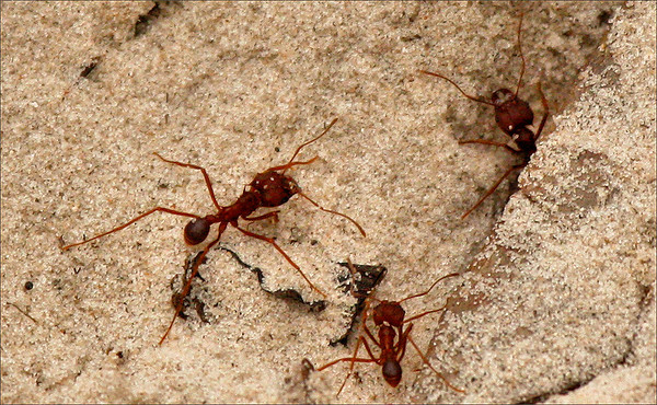 Texas leafcutter ants (a.k.a. Texas leafcutting ant, town ant, cut ant, parasol ant, fungus ant or night ant; Atta texana) (2009_12_13_044586)