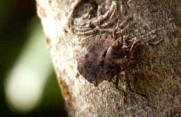 A rough stink bug (Parabrochymena arborea) on a tree trunk (2009_12_19_045505)
