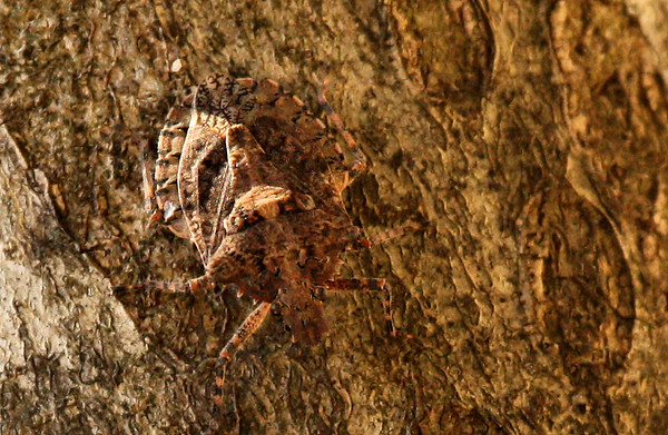 A rough stink bug (Parabrochymena arborea) on a tree trunk (2009_12_19_045514)
