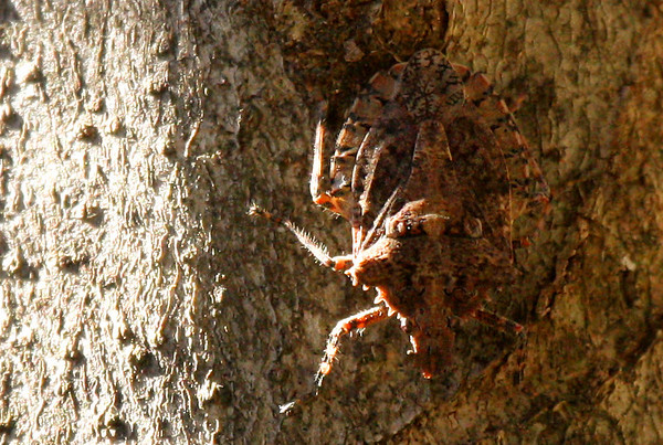 A rough stink bug (Parabrochymena arborea) on a tree trunk (2009_12_19_045537)