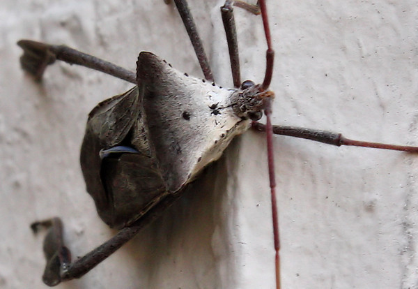 A leaf-footed bug (Acanthocephala declivis) hanging on the outside wall (2009_12_27_047518)