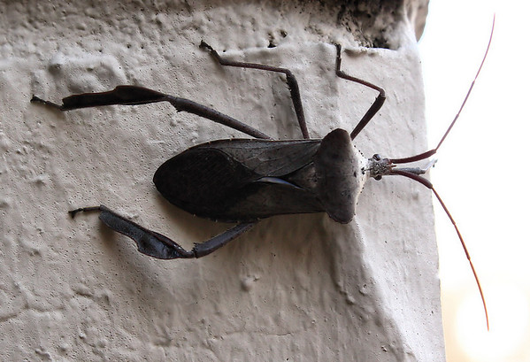 A leaf-footed bug (Acanthocephala declivis) hanging on the outside wall (2009_12_27_047525)