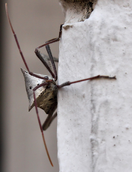 A leaf-footed bug (Acanthocephala declivis) hanging on the outside wall (2009_12_27_047528)