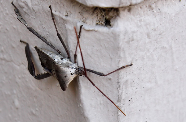 A leaf-footed bug (Acanthocephala declivis) hanging on the outside wall (2009_12_27_047529)