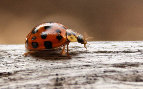 Multicolored Asian lady beetle (Harmonia axyridis) running along a fence (2010_03_05_050285)