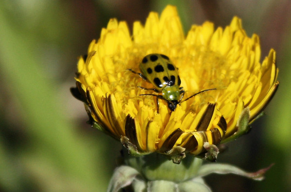 A Spotted cucumber beetle (Diabrotica undecimpunctata) on a common dandelion (Taraxacum officinale) (2010_03_14_051351)