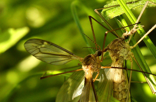 Two crane flies (Tipula colei), one perched atop the other (2010_04_03_052255)