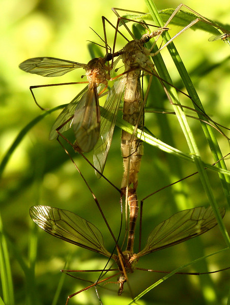 Mating crane flies (Tipula colei) with a second male perched atop the female (2010_04_03_052263)