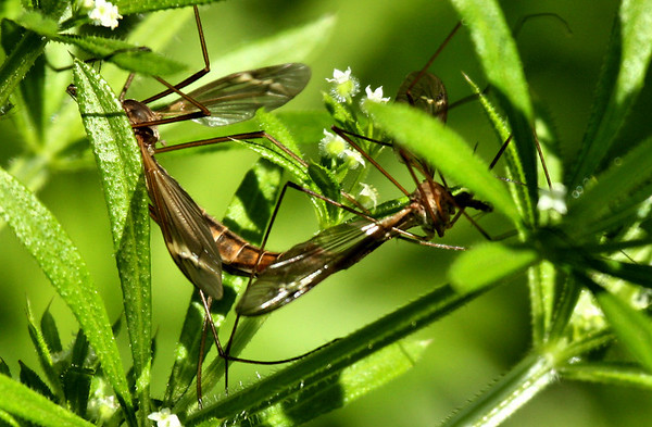 A mating pair of crane flies (Tipula tricolor) (2010_04_03_052296)