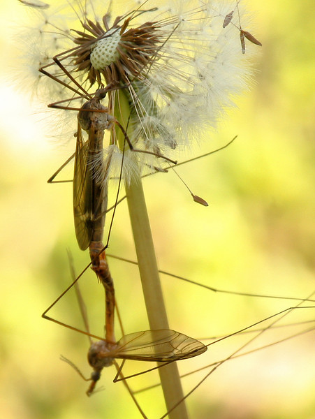 Mating crane flies (Tipula colei) hanging from a dandelion (2010_04_03_052317)