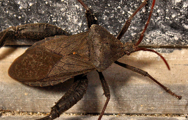 Florida leaf-footed bug (Acanthocephala femorata) (2010_04_28_054382)