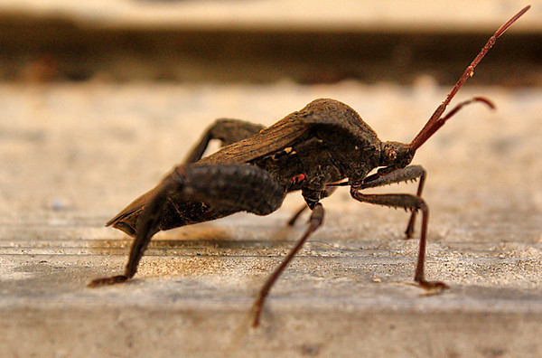 Florida leaf-footed bug (Acanthocephala femorata) (2010_04_28_054450)