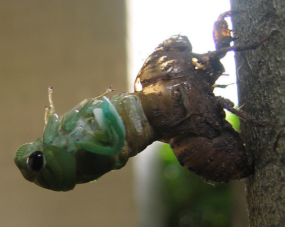 A superb cicada (Tibicen superba) emerging from its molted shell (201_0108)
