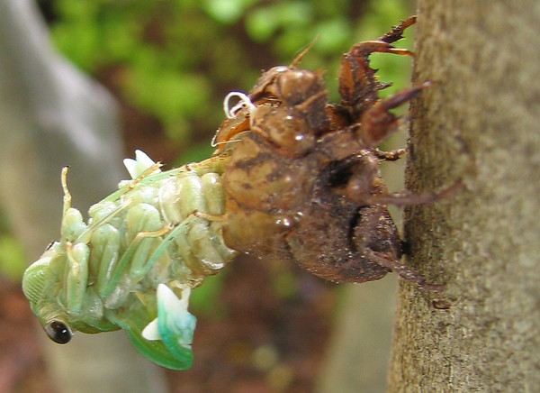 A superb cicada (Tibicen superba) emerging from its molted shell (201_0109)