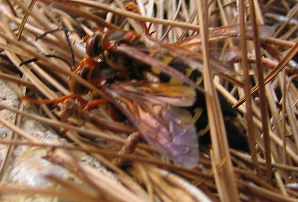 A mating pair of cicada-killer wasps (Sphecius speciosus) (201_0117)