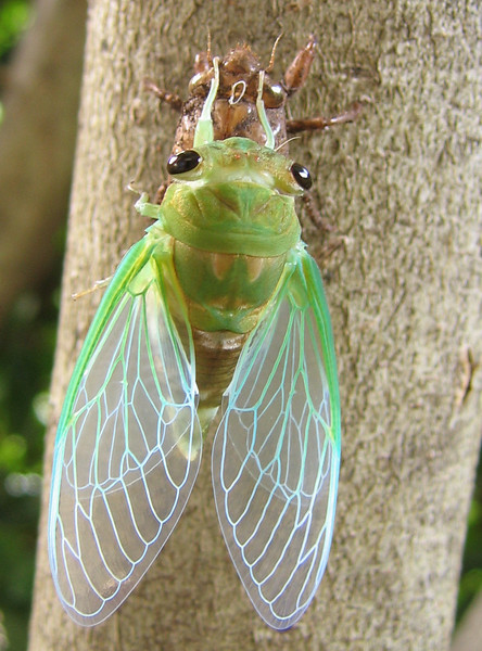 A superb cicada (Tibicen superba) (201_0122)