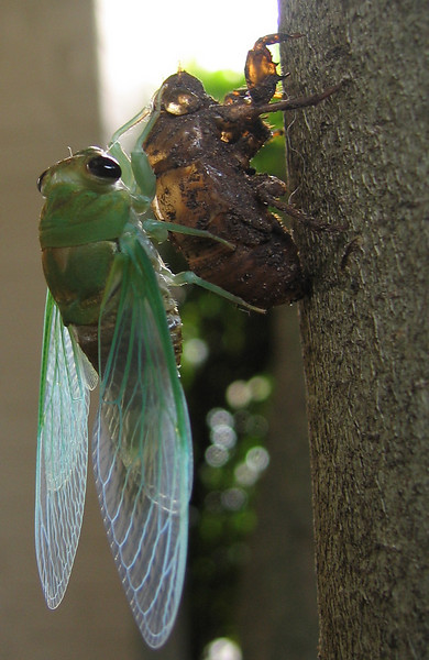 A superb cicada (Tibicen superba) (201_0125)