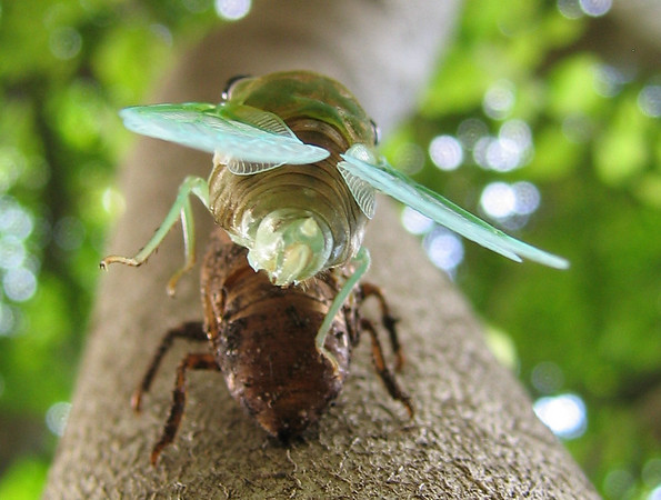 A superb cicada (Tibicen superba) (201_0128)