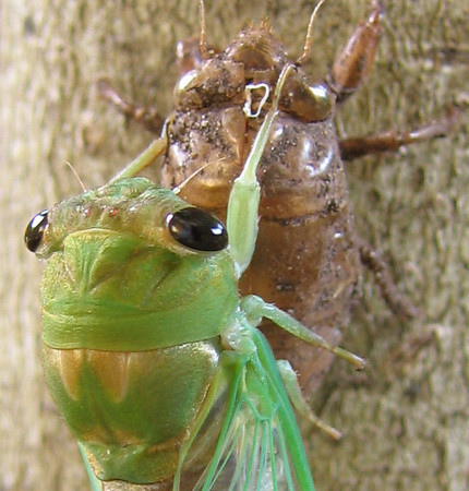 A superb cicada (Tibicen superba) (201_0143)