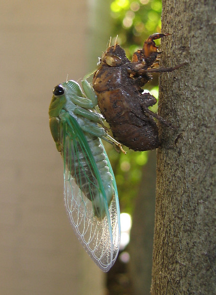 A superb cicada (Tibicen superba) (201_0145)