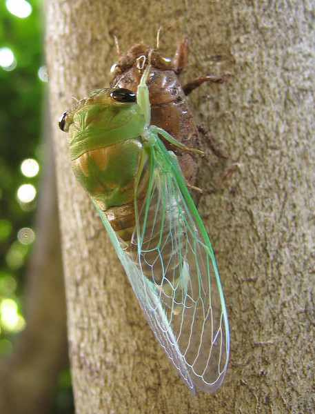 A superb cicada (Tibicen superba) (201_0150)