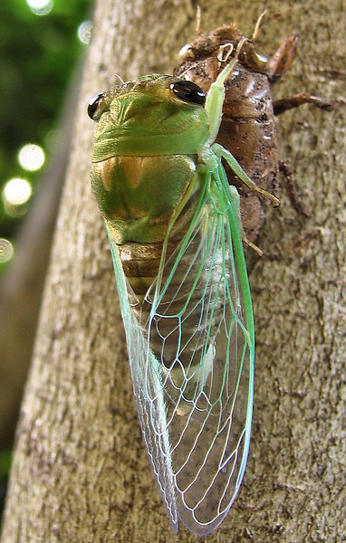 Superb cicada (Tibicen superba) after molting (201_0150_c)