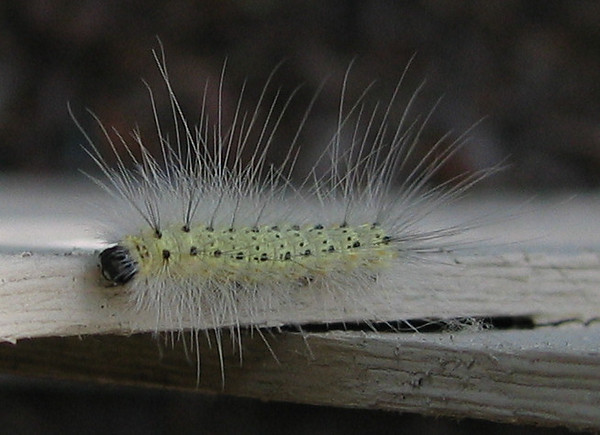 A fall webworm (Hyphantria cunea) on the patio fence (201_0186)