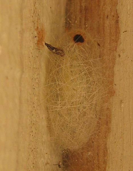 A fall webworm (Hyphantria cunea) cocoon (202_0223)