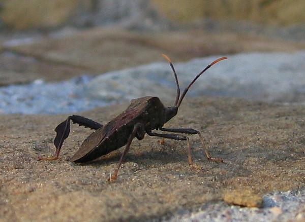 A Giant Agave Bug (Acanthocephala thomasi) (202_0278)