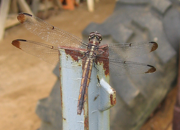 A dragonfly (206_0685)