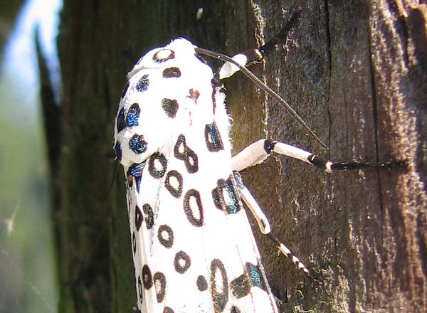 A female giant leopard moth (a.k.a. eyed tiger moth or great leopard moth; Hypercompe scribonia) (213_1389)