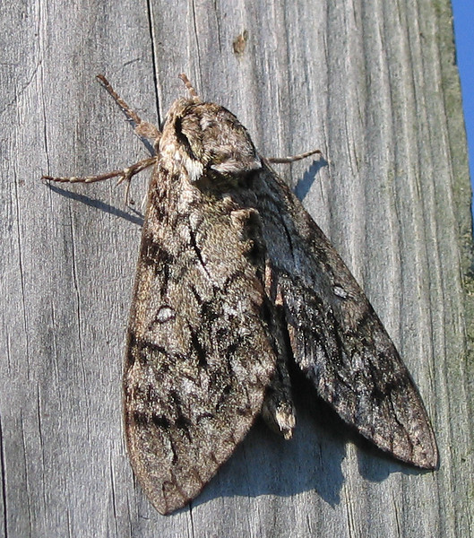 A waved sphinx moth (Ceratomia undulosa) (214_1415)