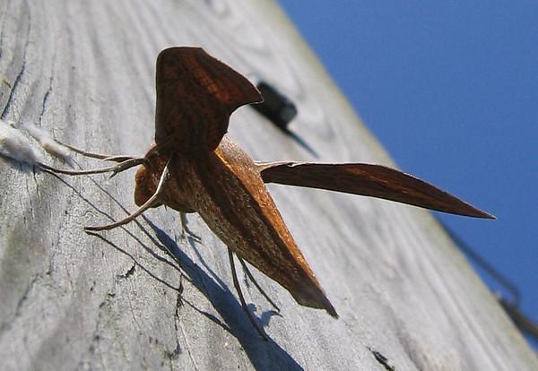 A female tersa sphinx moth (Xylophanes tersa) (214_1417)