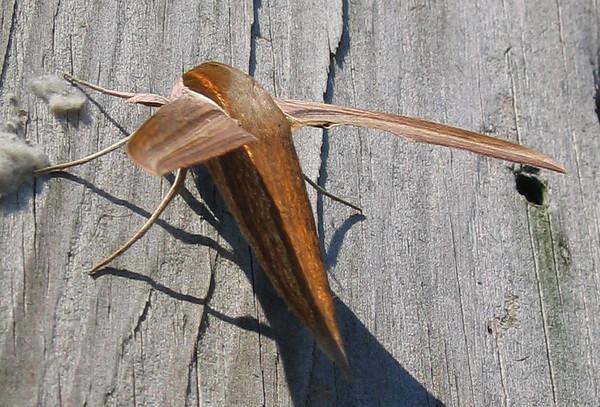 A female tersa sphinx moth (Xylophanes tersa) (214_1418)